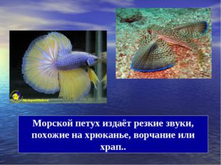 Морской петух издаёт резкие звуки, похожие на хрюканье, ворчание или храп..