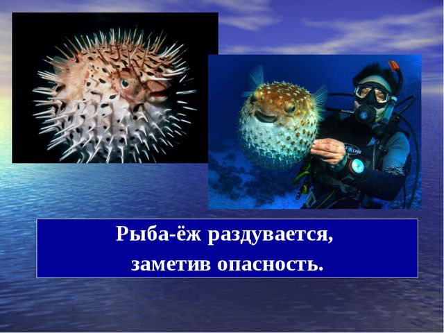 Рыба-ёж раздувается, заметив опасность.