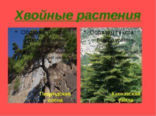 Хвойные растения Пицундская сосна Кавказская пихта