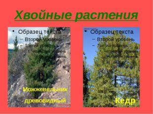 Хвойные растения Можжевельник древовидный Кедр