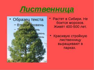 Лиственница Растет в Сибири. Не боится морозов. Живёт 400-500 лет. Красивую с