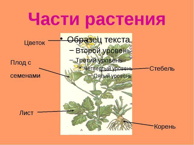 Части растения Корень Стебель Лист Цветок Плод с семенами