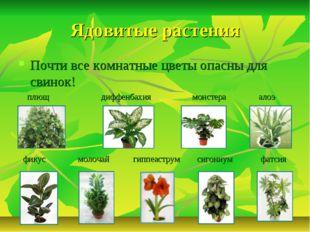 Ядовитые растения Почти все комнатные цветы опасны для свинок! плющ диффенбах