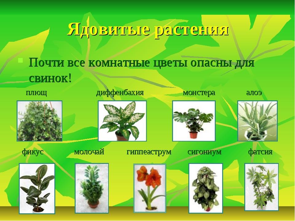 Ядовитые растения Почти все комнатные цветы опасны для свинок! плющ диффенбах...