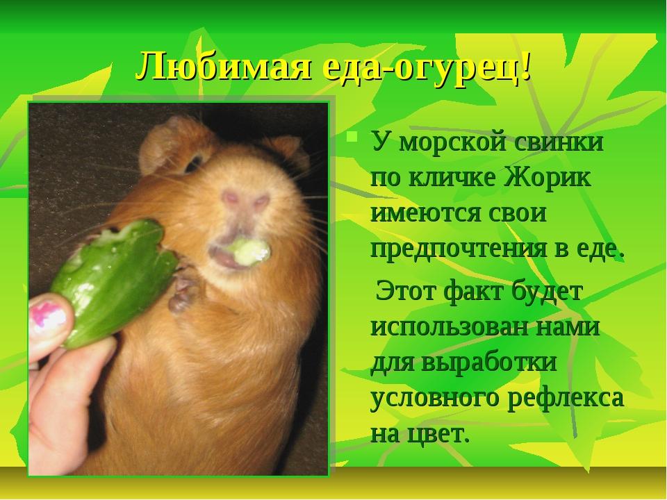 Любимая еда-огурец! У морской свинки по кличке Жорик имеются свои предпочтени...