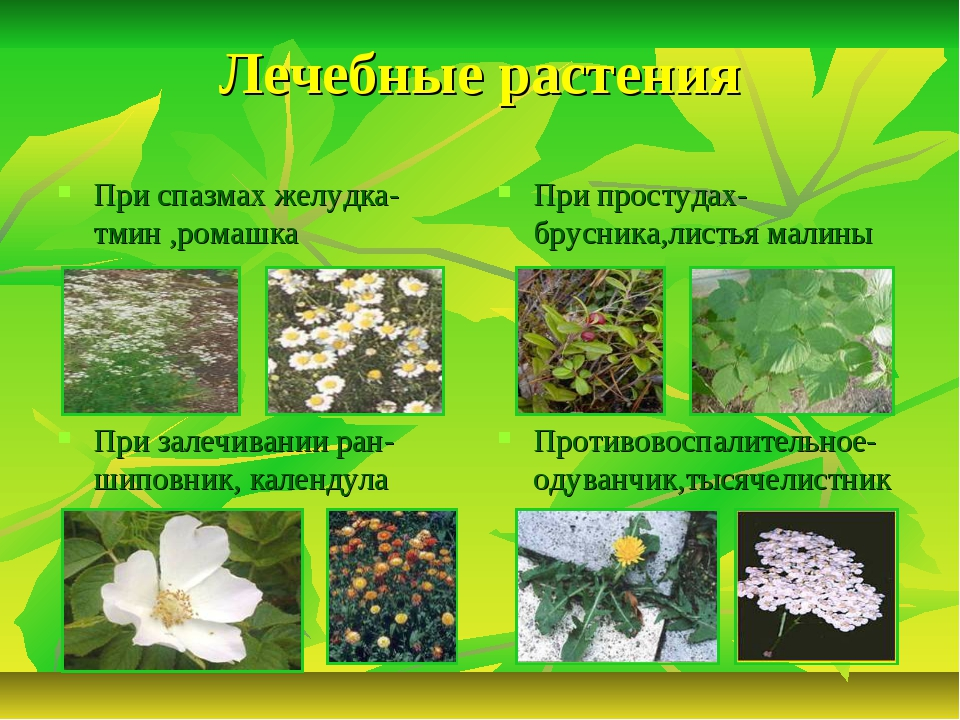 Лечебные растения При спазмах желудка-тмин ,ромашка При простудах-брусника,ли...
