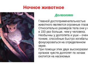Ночное животное Главной достопримечательностью животного являются огромные гл
