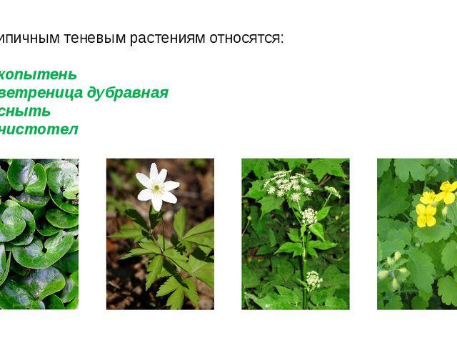 К типичным теневым растениям относятся: копытень ветреница дубравная сныть чи...