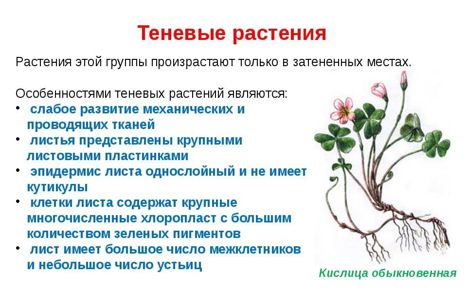 Теневые растения Растения этой группы произрастают только в затененных местах...