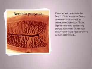 Сиыр цепені денесінің бір бөлігі. Пісіп жетілген бөлік денеден үзіліп түседі