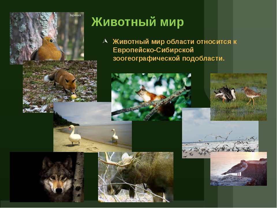 Животный мир Животный мир области относится к Европейско-Сибирской зоогеограф...
