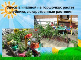 Здесь в «чайной» в горшочках растет клубника, лекарственные растения