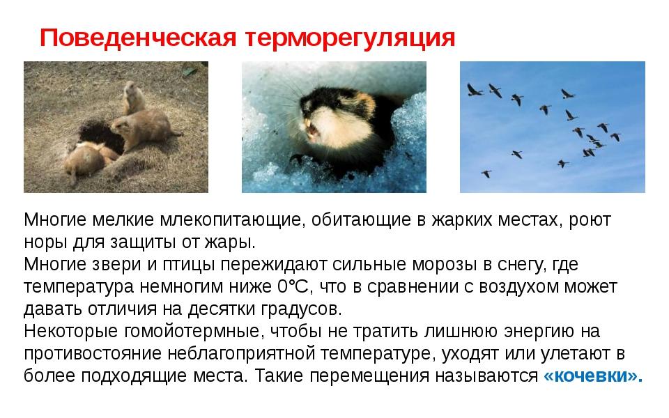 Поведенческая терморегуляция Многие мелкие млекопитающие, обитающие в жарких...
