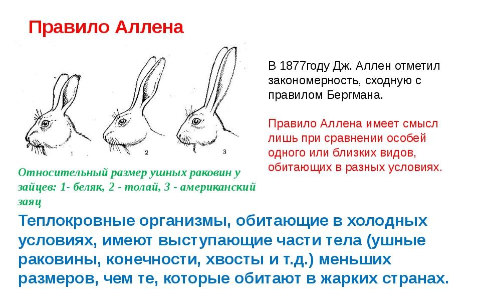 Правило Аллена Относительный размер ушных раковин у зайцев: 1- беляк, 2 - тол...