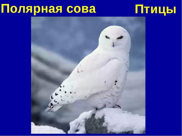 Полярная сова Птицы