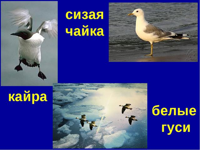 кайра сизая чайка белые гуси