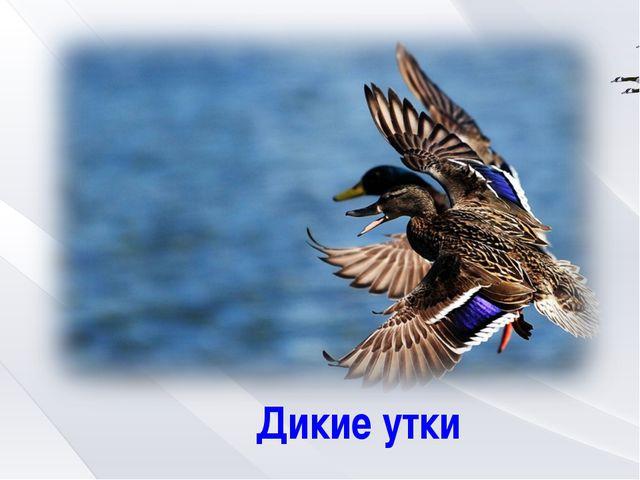 Дикие утки