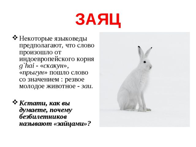 ЗАЯЦ Некоторые языковеды предполагают, что слово произошло от индоевропейског...
