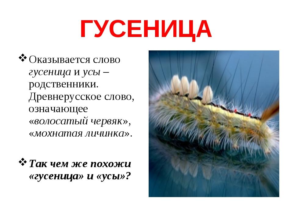 ГУСЕНИЦА Оказывается слово гусеница и усы – родственники. Древнерусское слово...