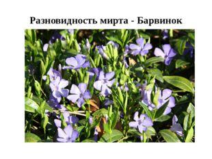 Разновидность мирта - Барвинок
