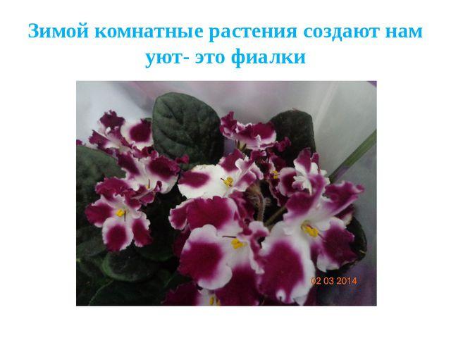 Зимой комнатные растения создают нам уют- это фиалки