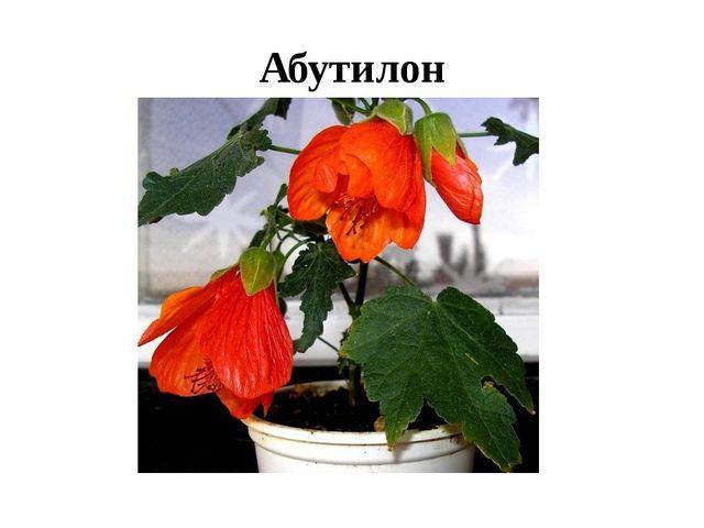 Абутилон
