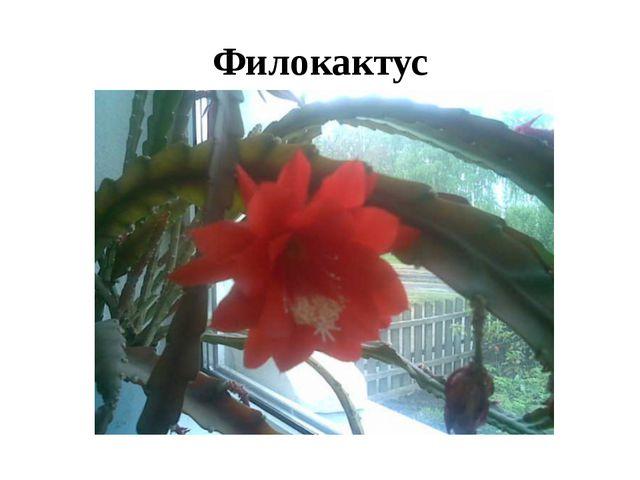 Филокактус