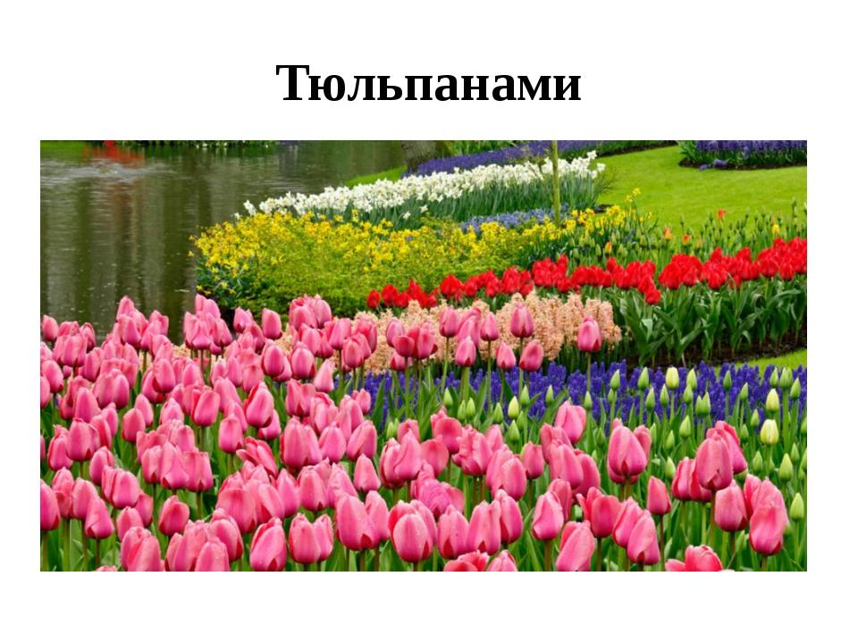 Тюльпанами