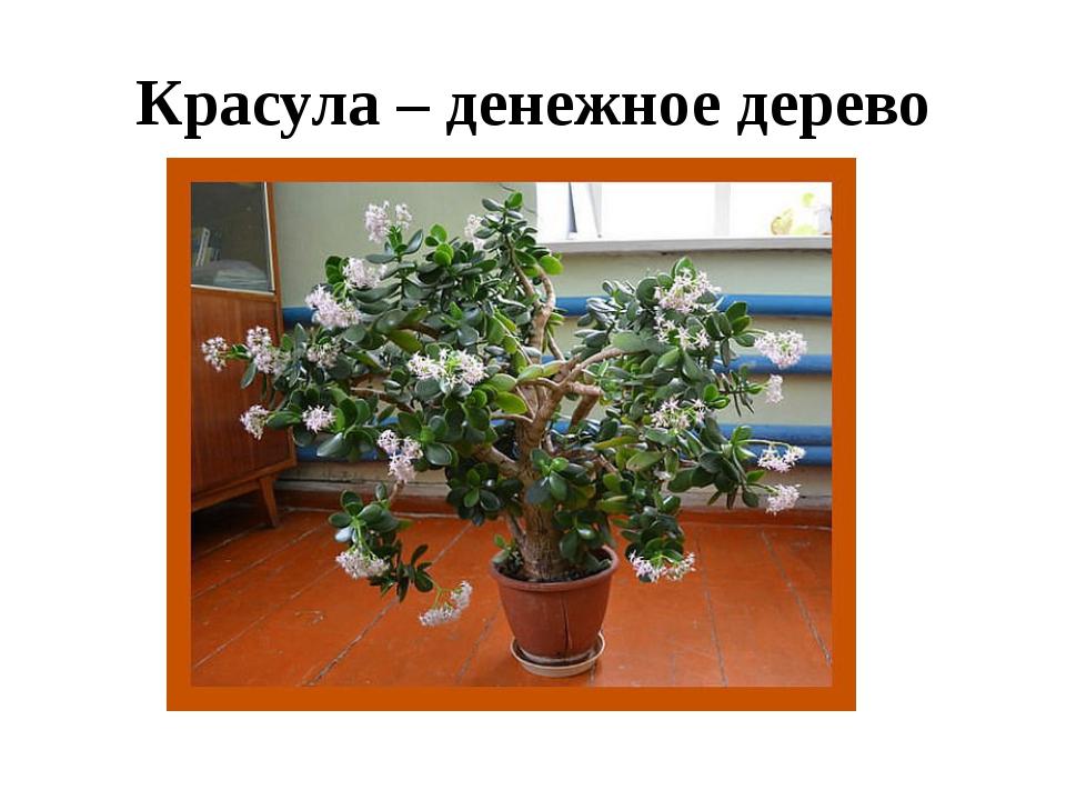 Красула – денежное дерево