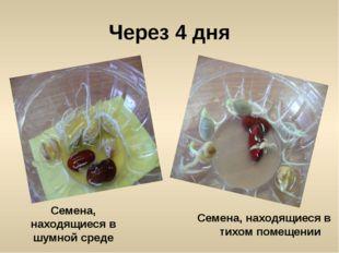 Через 4 дня Семена, находящиеся в шумной среде Семена, находящиеся в тихом по