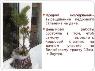 Предмет исследования– выращивание кедрового стланика на даче. Цельмоей рабо