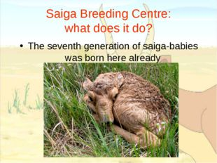 Saiga Breeding Centre: what does it do? The seventh generation of saiga-babie