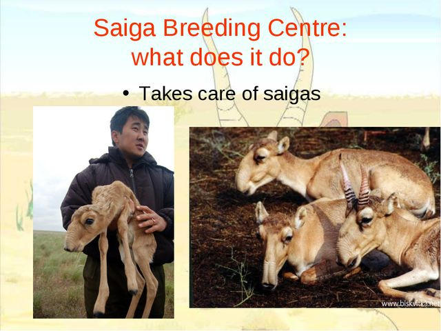 Saiga Breeding Centre: what does it do? Takes care of saigas