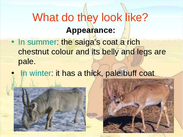What do they look like? Appearance: In summer: the saiga's coat a rich chestn...