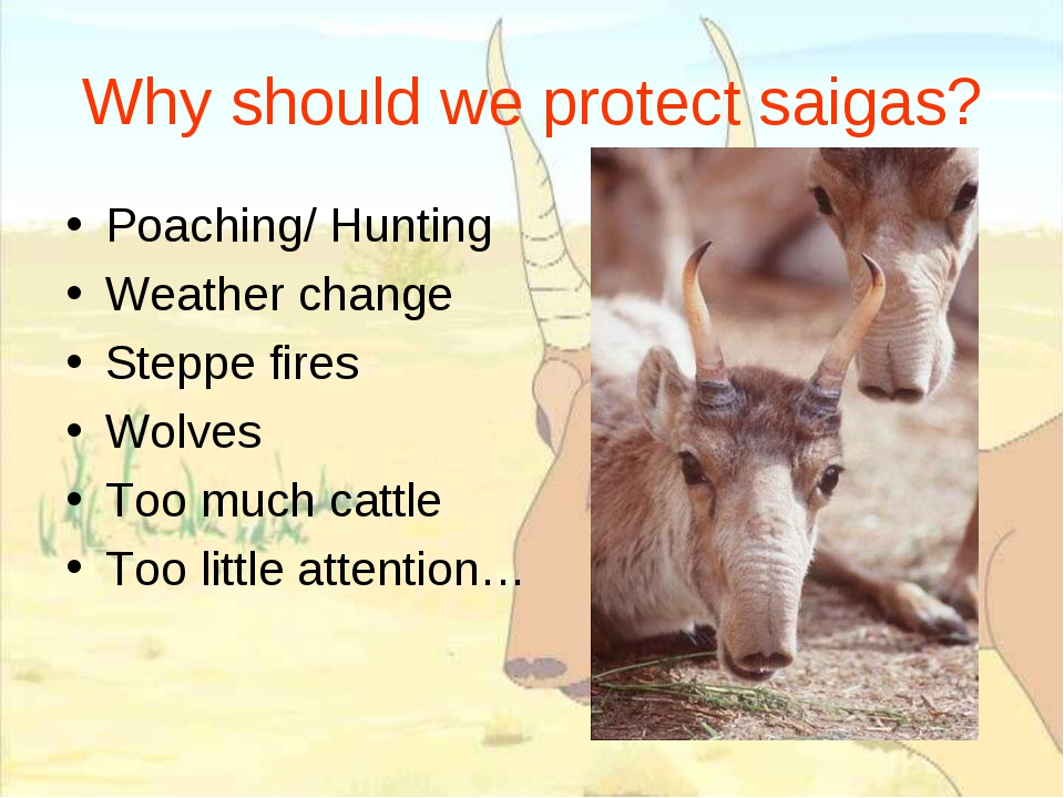 Why should we protect saigas? Poaching/ Hunting Weather change Steppe fires W...