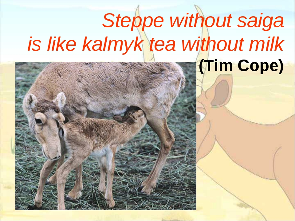 Steppe without saiga is like kalmyk tea without milk (Tim Cope)