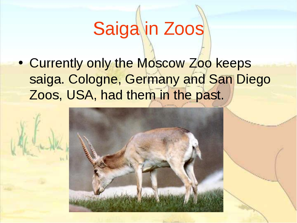 Saiga in Zoos Currently only the Moscow Zoo keeps saiga. Cologne, Germany and...