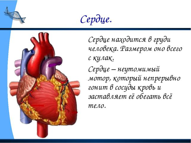 Сердце. Сердце находится в груди человека. Размером оно всего с кулак. Серд...
