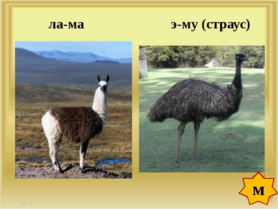 ла-ма э-му (страус) м