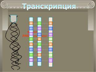 Фермент РНК-полимераза А У Г Ц Ц А Г У