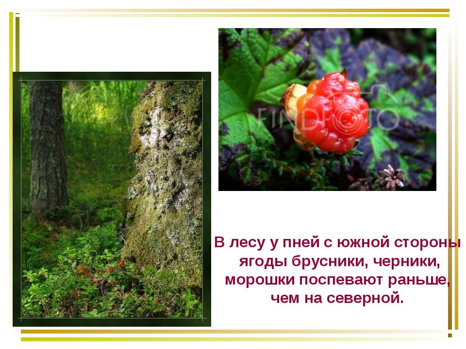 В лесу у пней с южной стороны ягоды брусники, черники, морошки поспевают рань...