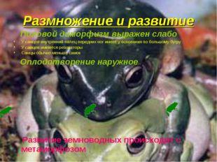 Размножение и развитие Половой диморфизм выражен слабо У самцов внутренний па