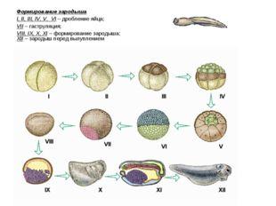 Формирование зародыша I, II, III, IV, V, VI – дробление яйца; VII – гаструляц