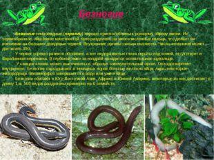 Безногие земноводные (червяги) хорошо приспособлены к роющему образу жизни.