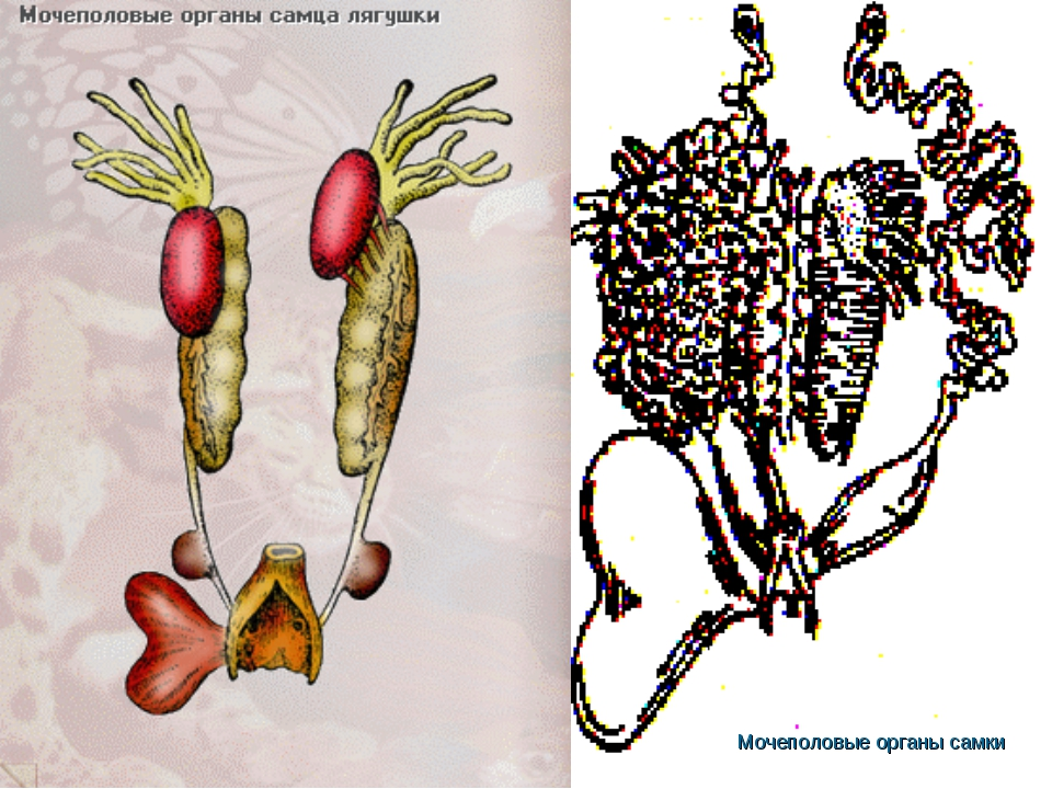 Мочеполовые органы самки