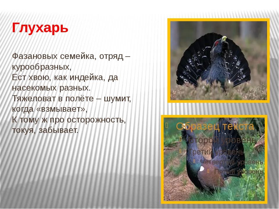 Глухарь Фазановых семейка, отряд – курообразных, Ест хвою, как индейка, да на...
