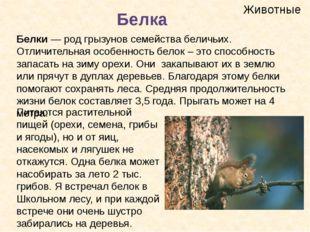 Животные Белка Белки— род грызунов семействабеличьих. Отличительная особенн