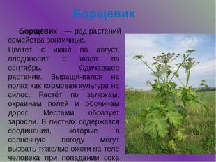 Борщевик Цветёт с июня по август, плодоносит с июля по сентябрь. Одичавшее ра