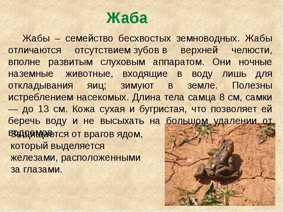 Жаба Жабы – семейство бесхвостых земноводных. Жабы отличаются отсутствиемзу...