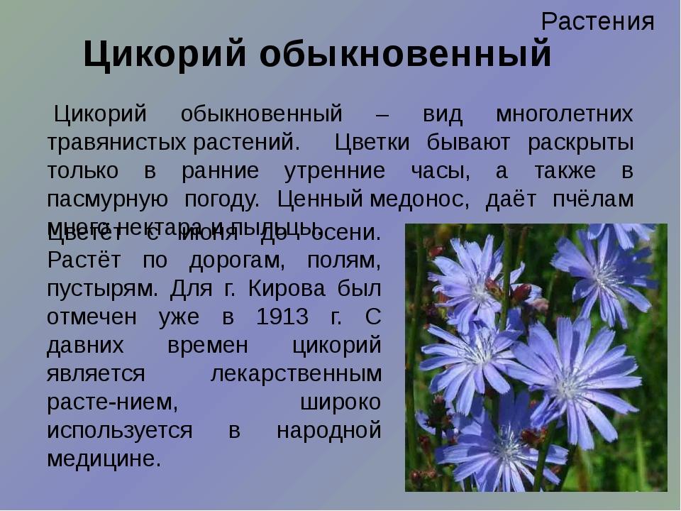 Растения Цикорий обыкновенный Цветёт с июня до осени. Растёт по дорогам, поля...